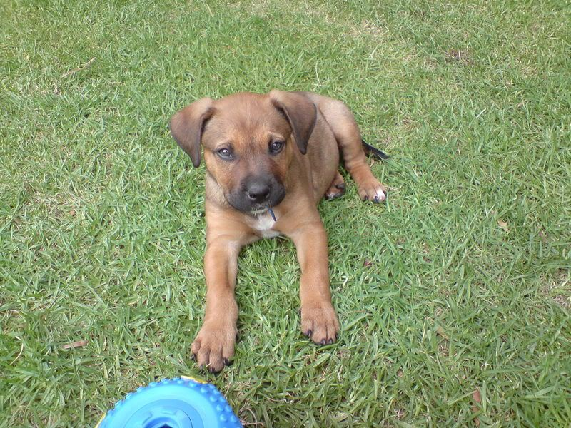 Ridgeback Cross Bull Mastiff Bull Mastiff Dogs And Puppies