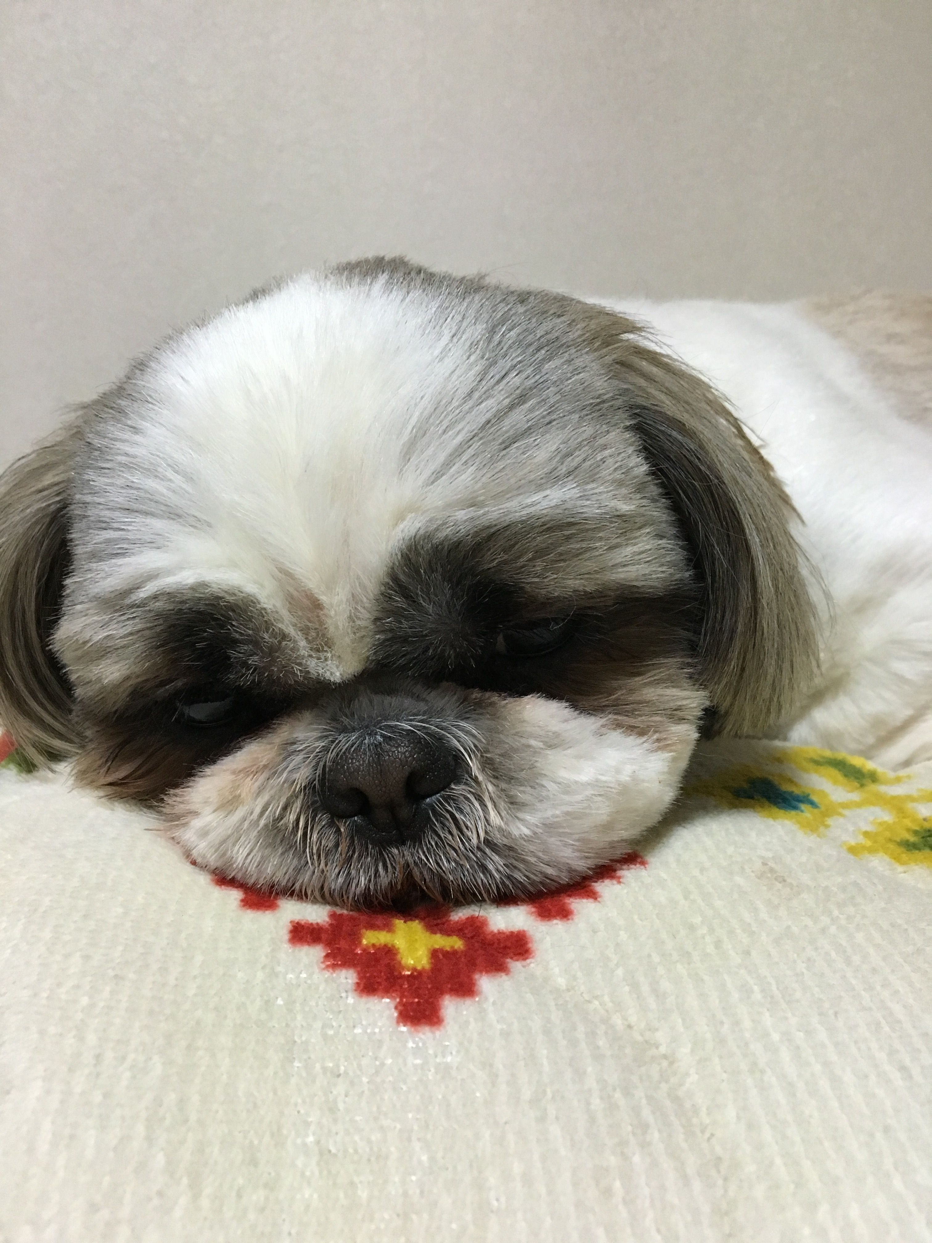 Pin By Joan Moran On Shih Tzu Shih Tzu Shih Tzu Puppy Shih Tzu Dog