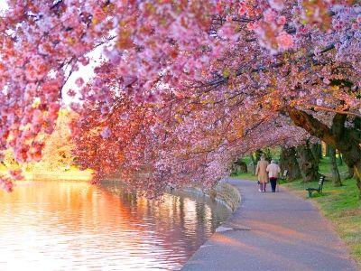 cherry blossom screensaver cherry