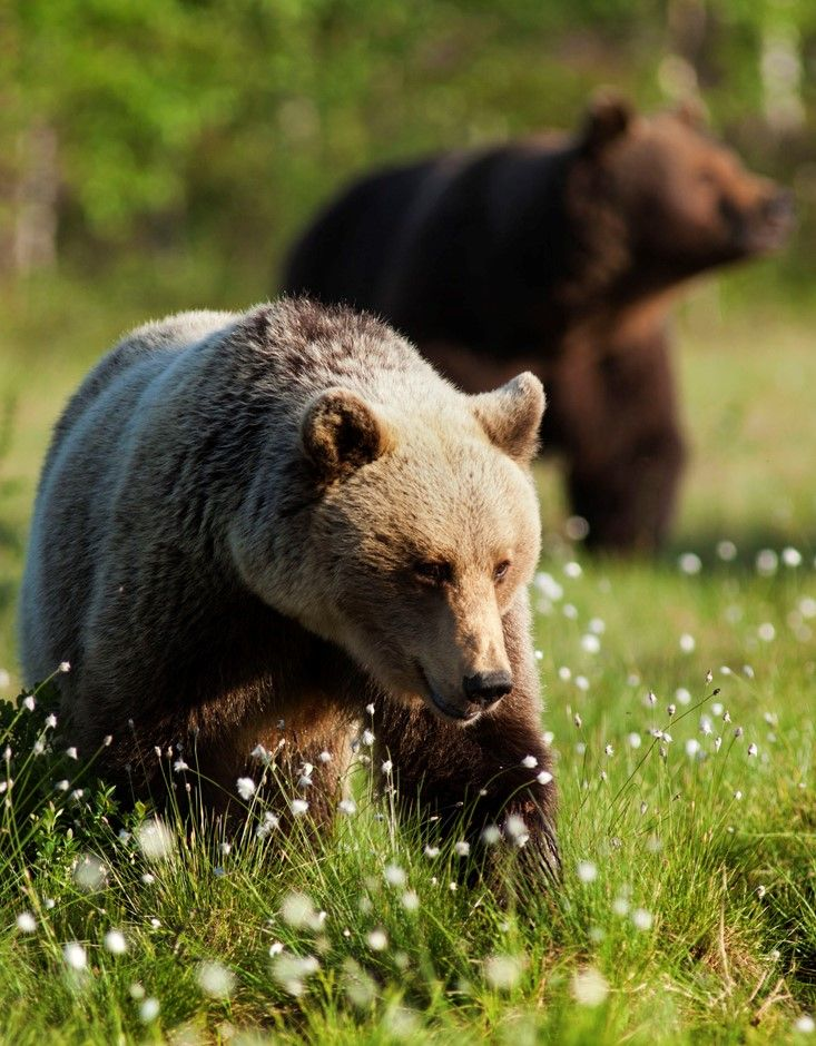 Always Playing Hard To Get Keeping One Step Ahead Of The Dark Male Finland Bear Brown Bear