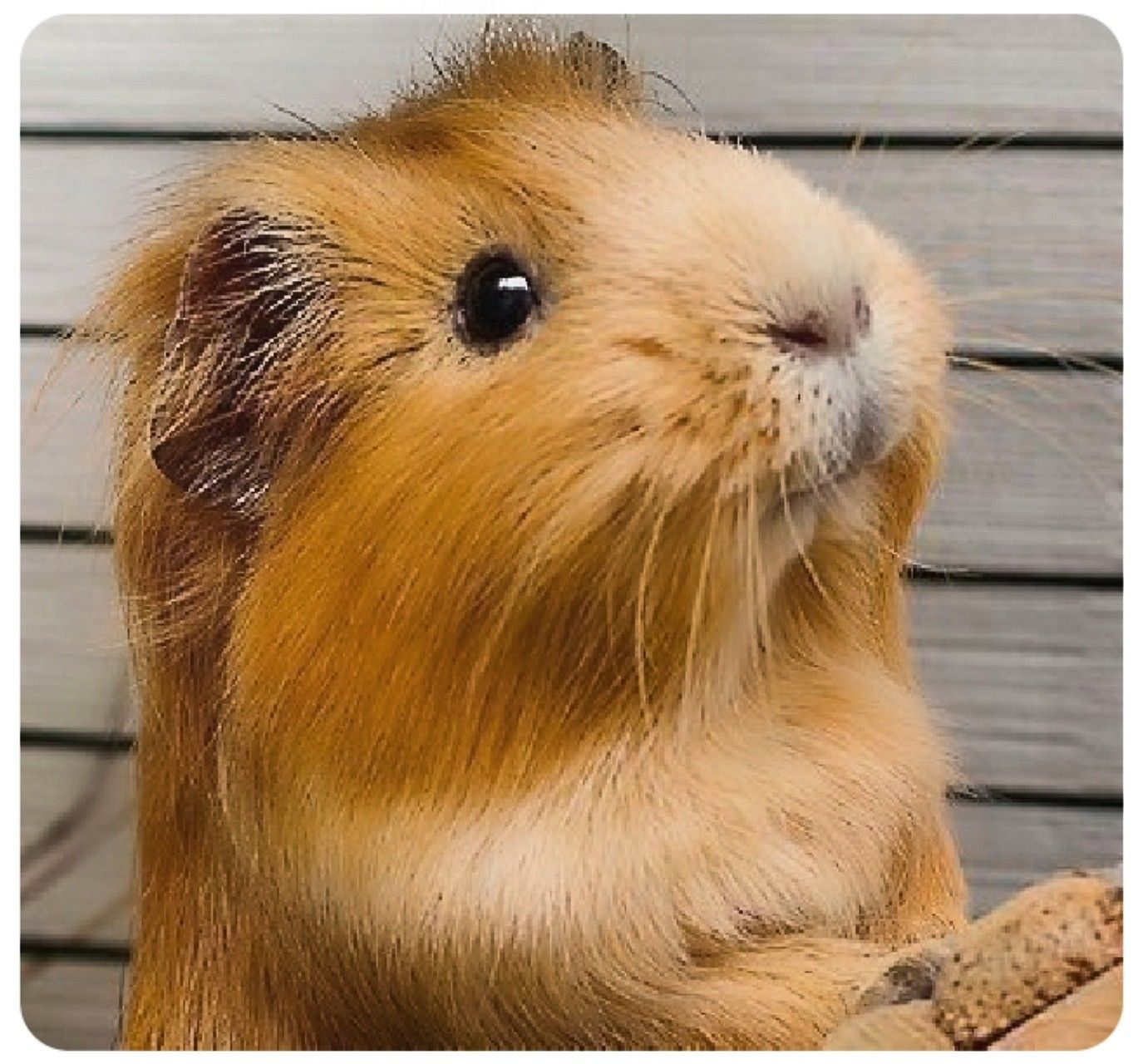 Pin by Chelsea on Guinea pigs Pet guinea pigs, Guinea pigs