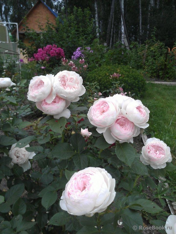 Herzogin Christiana ® | Цветы во дворе, Цветоводство ...