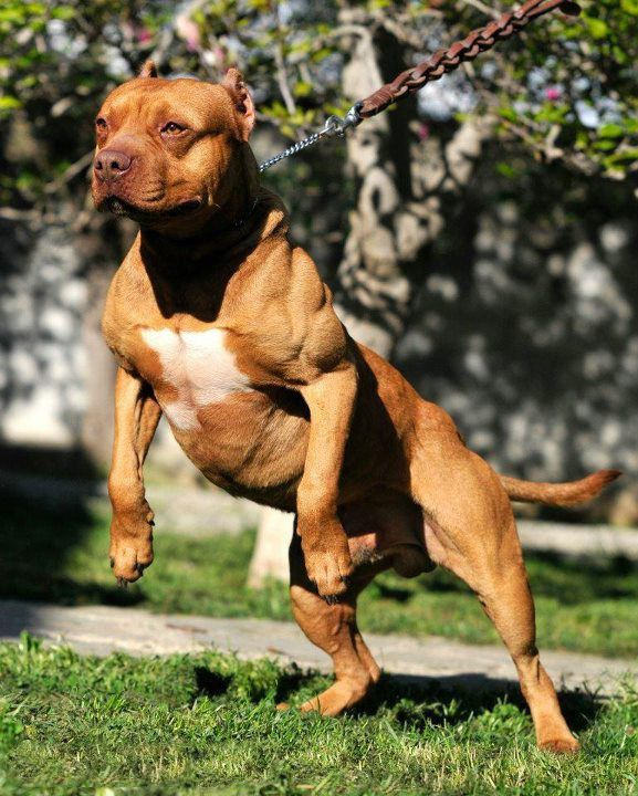 How To Build Muscle In Dogs Pitbulls Pitbull Dog Dogs