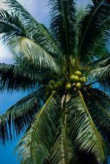 Picture of Bulk Coconut Oil - RBD --- 3 5 kg (~7lb) is 17 00