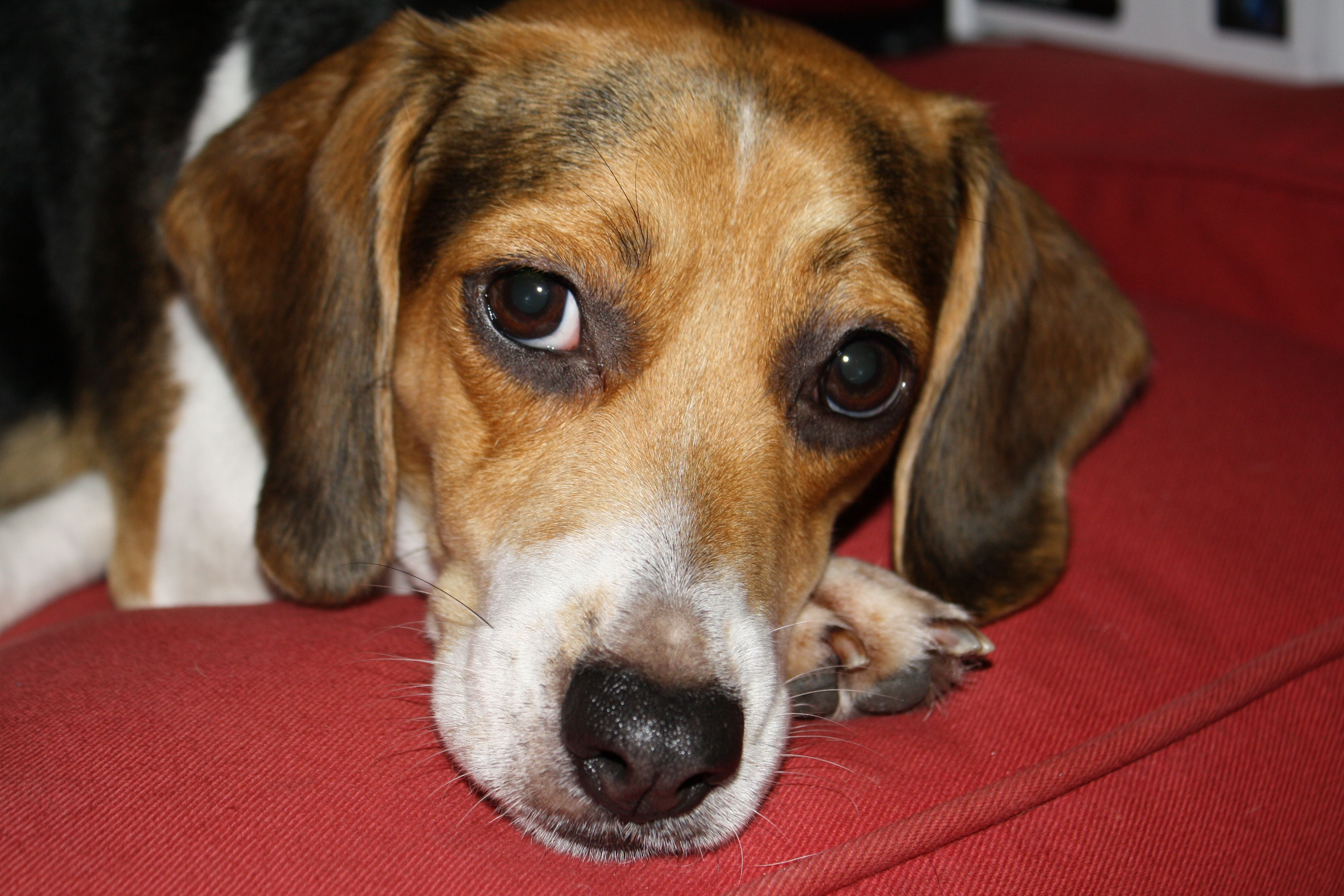 This Beagles Looks Just Like Clutch Beagle Puppies Animals