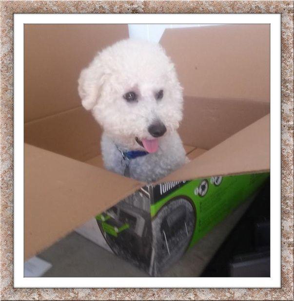Adopt Aj S Tx On Paws Rescue Puppy Love Bichon Frise