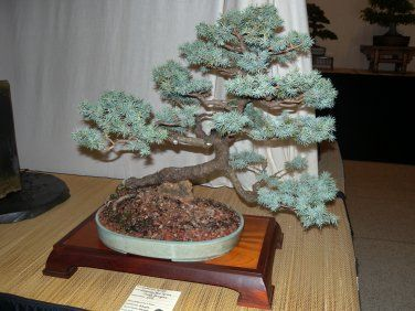 The Colorado Blue Spruce is a beautiful conifer tree with