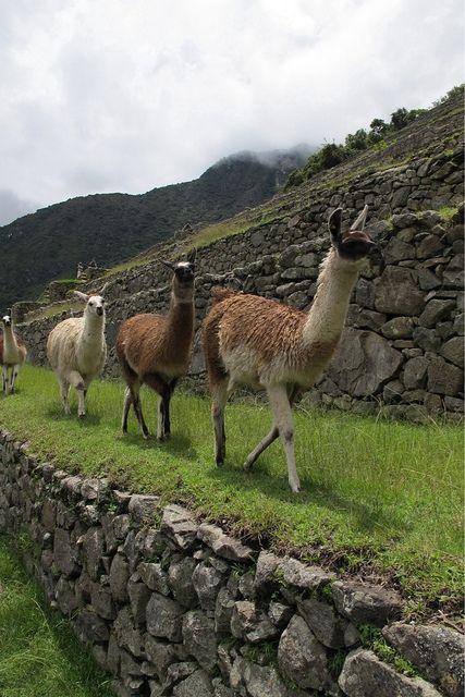 Machu Picchu Paseo De Llamas Por Las Terrazas De Cultivo