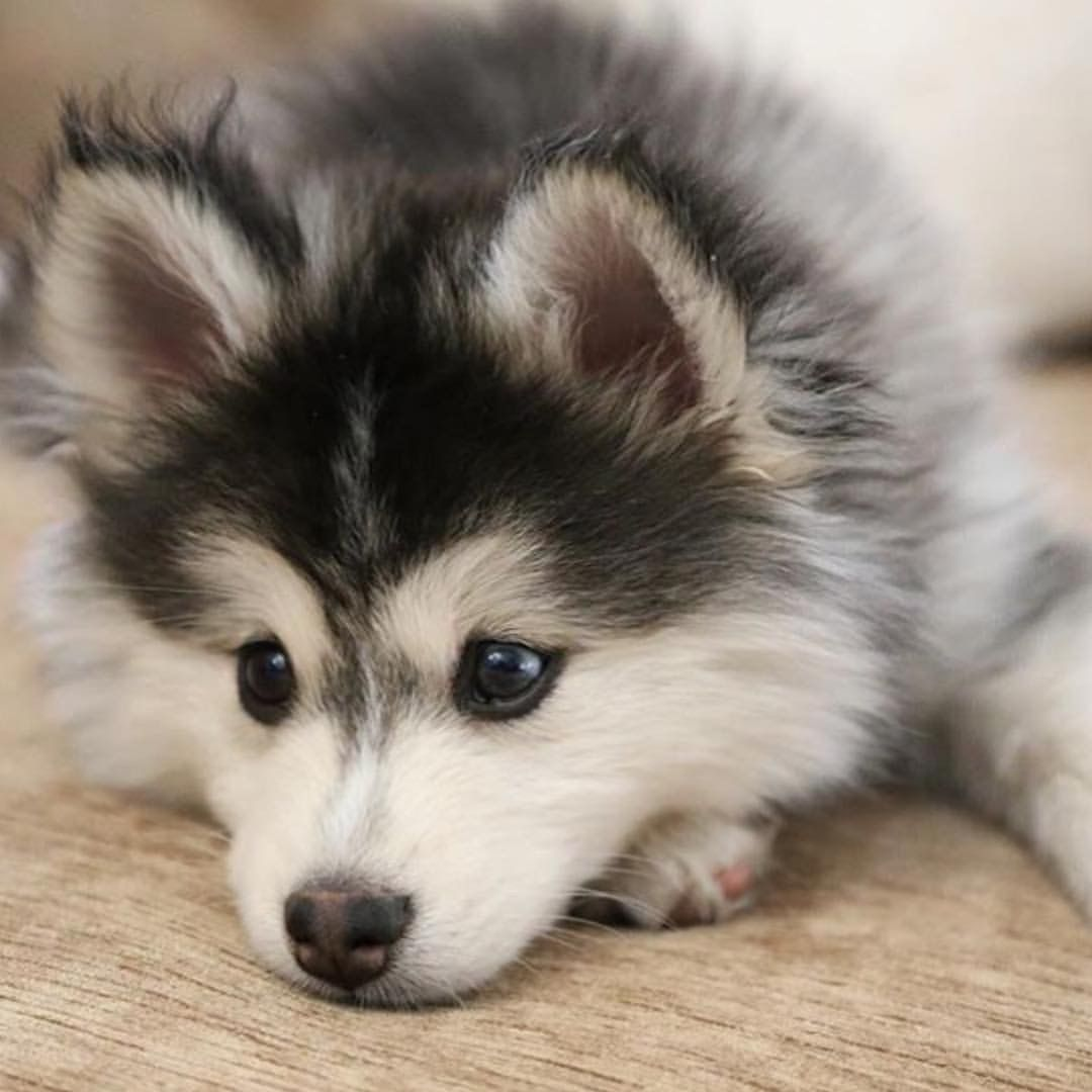 Baby husky | Cute ️ | Pinterest | Baby huskies, Animal and Dog