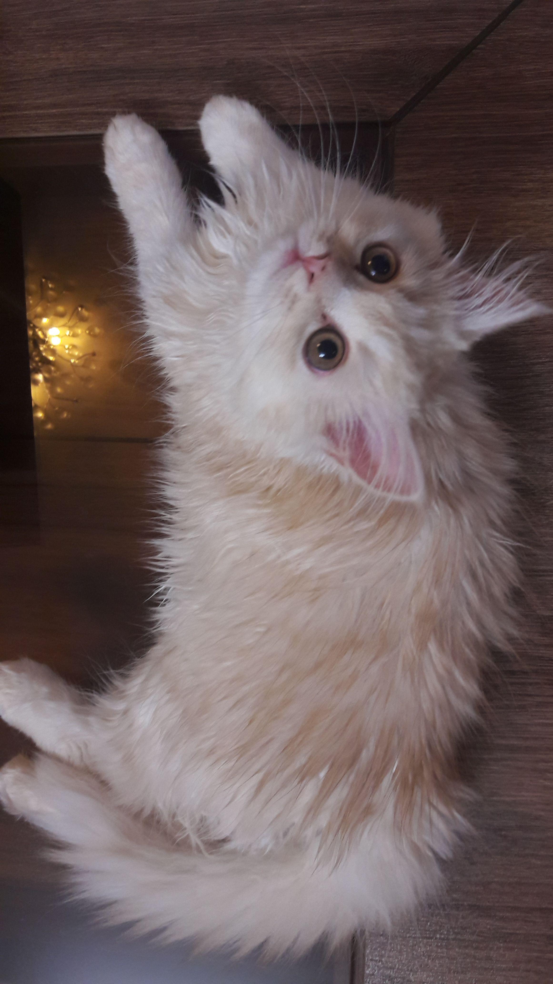 Miss Peachهمه جای خانه تخت خواب من است از جمله میز پذیرایی Please Don T Disturb Im Resting Precious Peach Cat Cats Of Persian Cat Wild Cats Cats