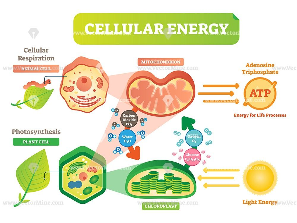Animal And Plant Cell Energy Cycle Vector Illustration Diagram Plant And Animal Cells Plant Cell Photosynthesis And Cellular Respiration