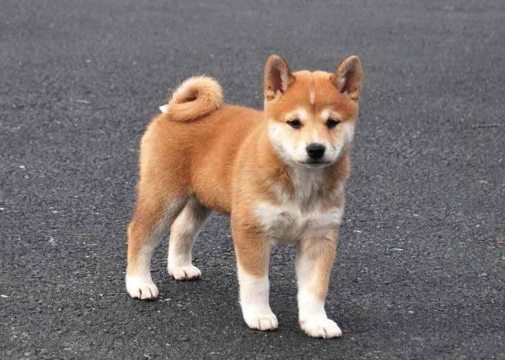 Baby Shiba Inu For Adoption Shiba Inu Shiba Adoption