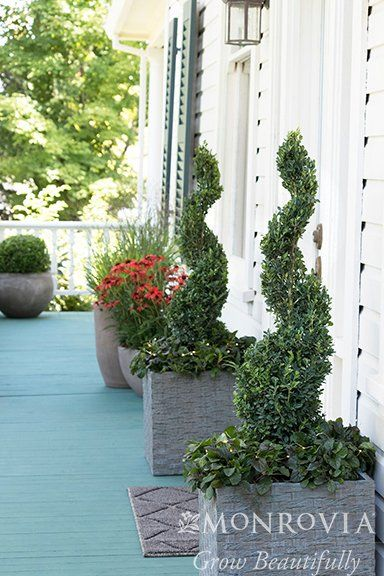 The perfect evergreen hedge for tight spaces or to create a privacy screen.
