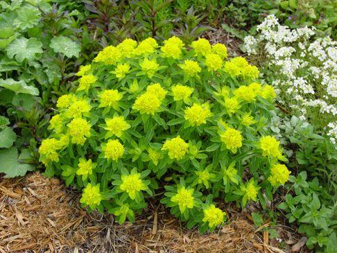 Euphorbia Polychroma Cushion Spurge Genie In The Garden Euphorbia Polychroma Euphorbia Organic Gardening Books