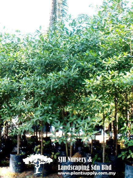 Trees Wholesale Plant Nursery Wholesale Plants Tropical Tree