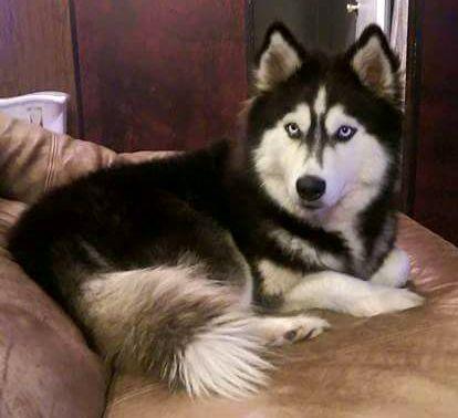 Lost Dog Siberian Husky West Columbia Tx United States 77486