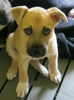 Adopt Presley On Dog Mixes German Shepherd Dogs Shepherd Dog