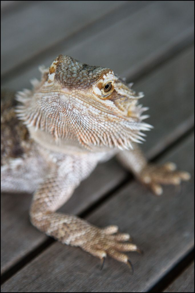 Let s be candid - Bearded dragon yawn ...