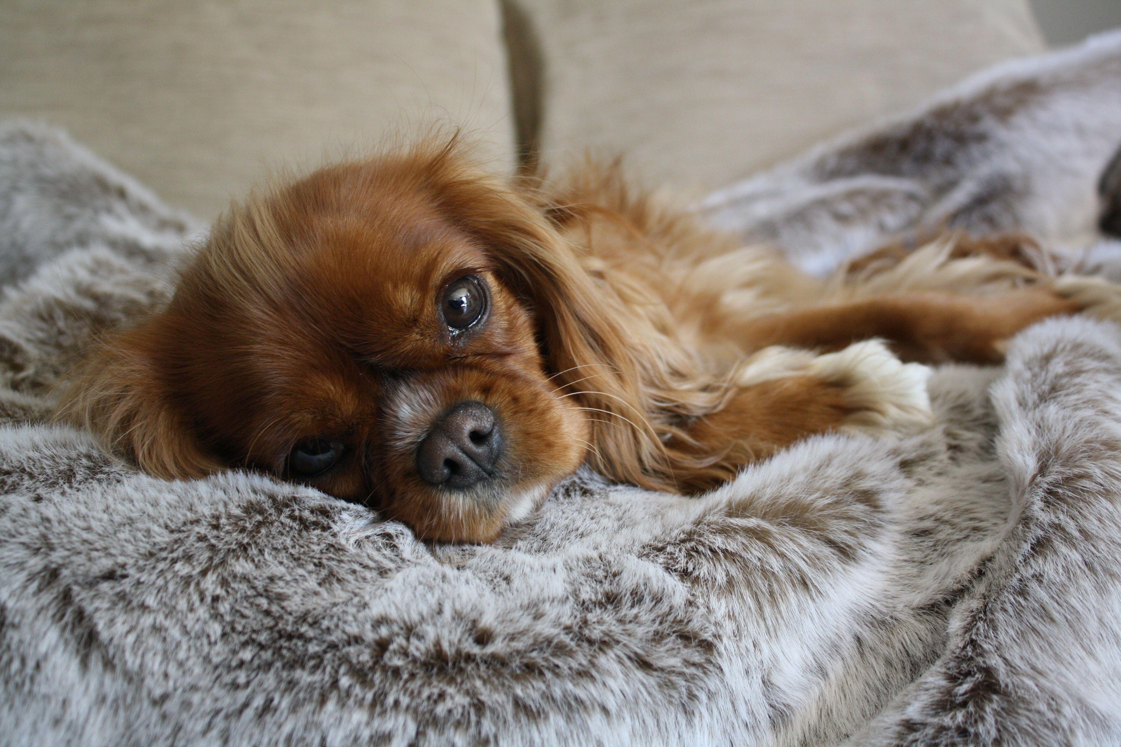 Crumble Top Dog for October Dog blanket, Puppy blanket