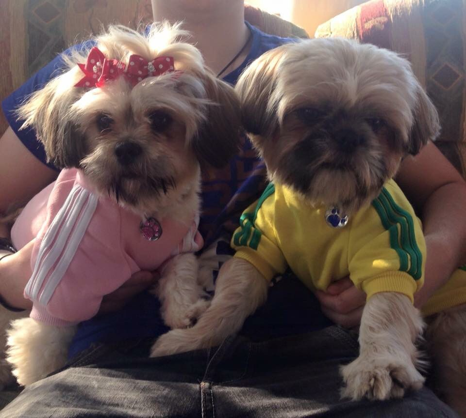 Max and Poppy Shih tzu, Shih tzus, Cute dogs