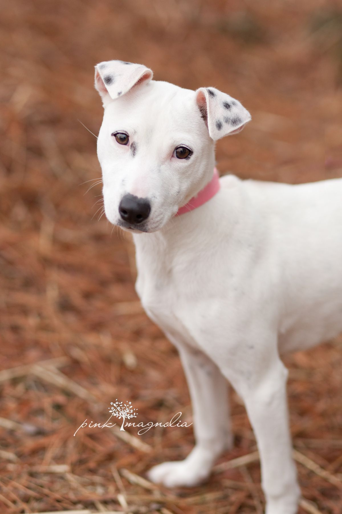 Elsa Is A Dalmatian Whippet Mix Available For Adoption Through The Fayette Humane Society In Fayette County Georgia Fil Puppy Breath Rescue Dogs Whippet Mix