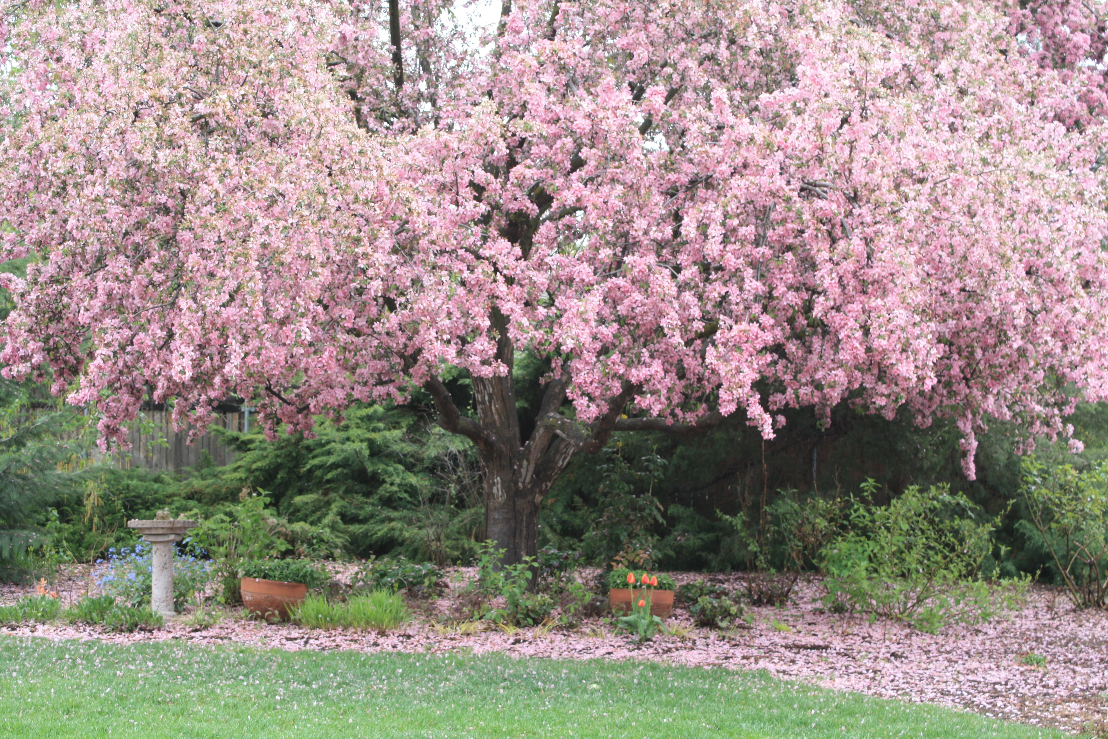 Pin On Spring Blooming Trees And Shrubs For Treasure Valley Idaho