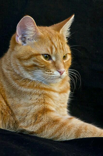 You Are Blazingfire You Are A Short Furred Ginger Tabby Cat With Hazel Eyes You Are From Windclan And You Became The Orange Tabby Cats Tabby Cat Orange Cats