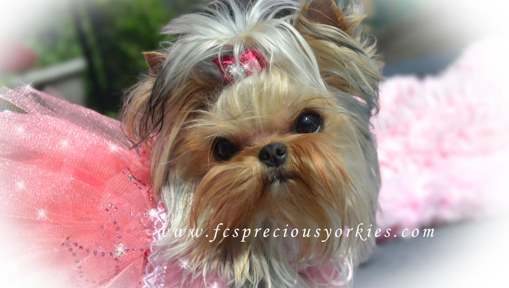 Babydoll Faced Yorkies Vancouver Canada Yorkie Yorkie Puppy Puppies And Kitties