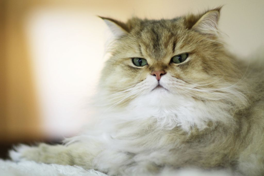 อยากเล ยงแมวเปอร เซ ย แล วแมวเปอร เซ ยค ออะไร Persian Cat Cats Beautiful Cats