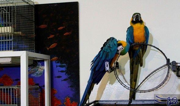 إقبال محبي طيور الزينة على المعرض الأول لمستلزمات الحيوانات الأليفة اجتمع هواة ومحبو الطيور في العاصمة الأردنية عمان في معرض طيور الزينة Animals Parrot Bird