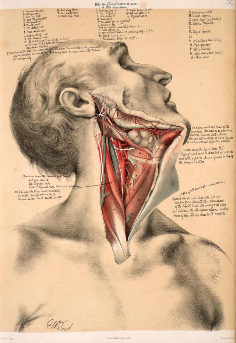 Deep dissection of the neck from \'Illustrations of Dissections\' by ...