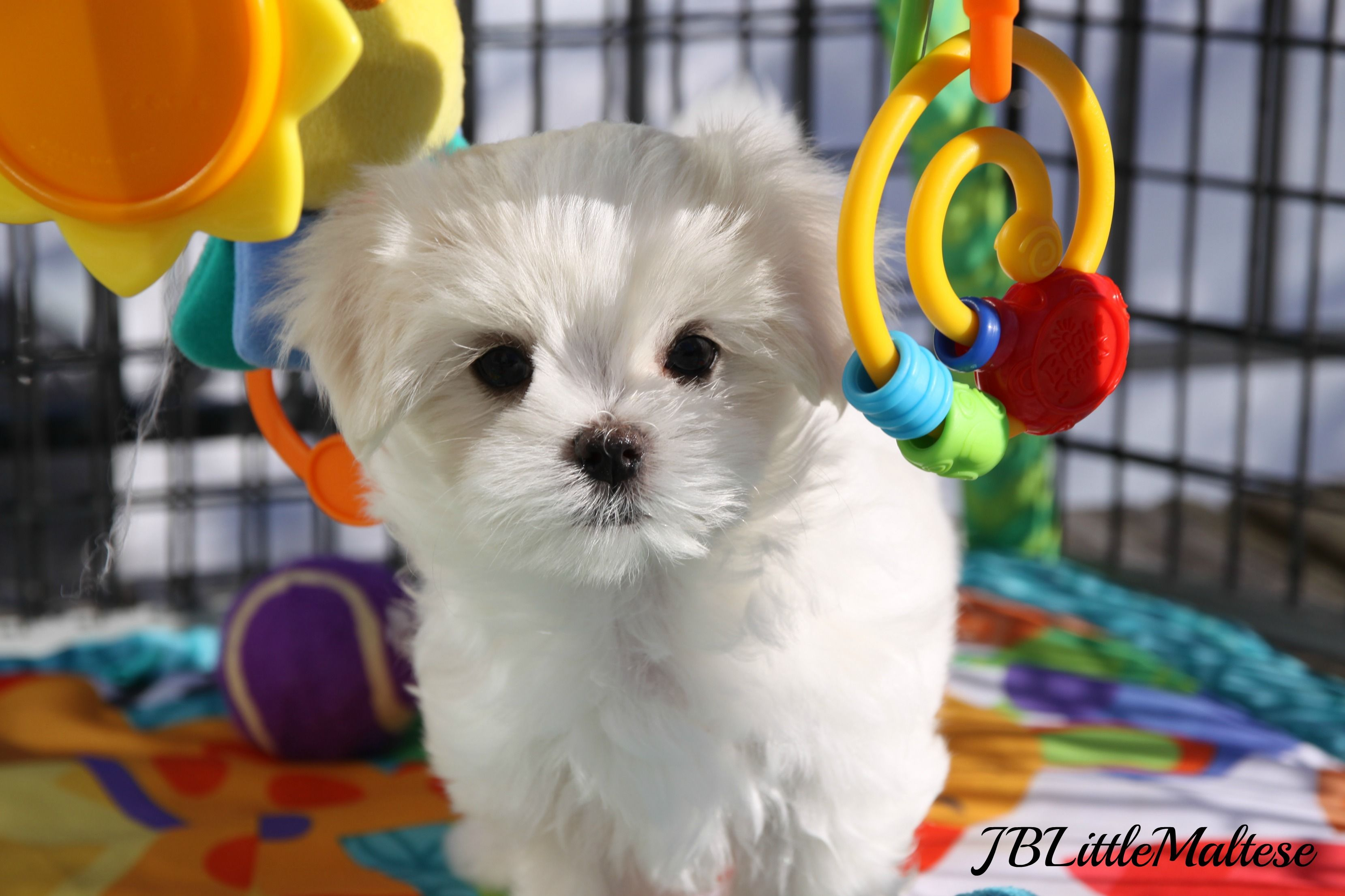 Canadian Grand Champion Sired Maltese Puppy Cute Dogs Puppies