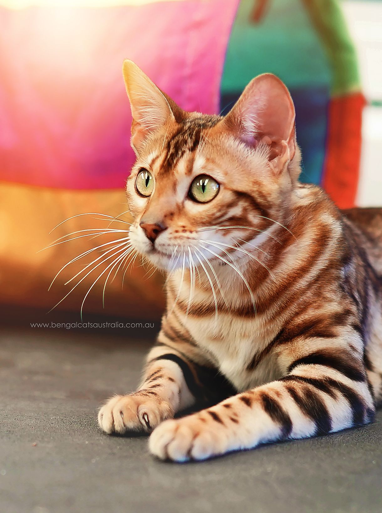 Meet The Bengal Cats And Kittens Of Ashmiyah Bengals Bengal Cats Australia What More Could One Want In Life We Hope Yo Bengal Cat Cat Meeting Bengal Kitten