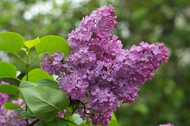 Maj W Ogrodzie Bzy Lilaki Kwitna W Maju Zdjecia Kwitnacych Bzow Lilac Plant Bush Plant Prune Lilac Bush
