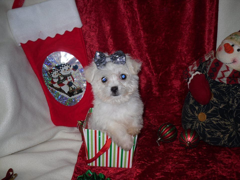 Maltipoo Puppy for sale in Texas (With images) Maltipoo