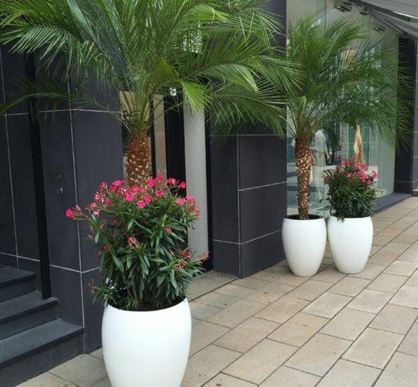 die besten 25 hanfpalme pflege ideen auf pinterest palme pflege palmen garten und hanfpalme. Black Bedroom Furniture Sets. Home Design Ideas