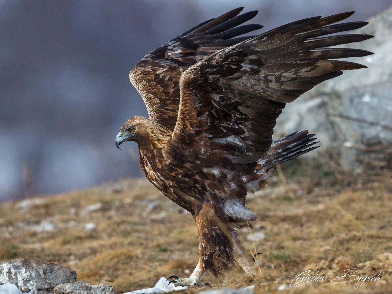 Птицы беркуты картинка