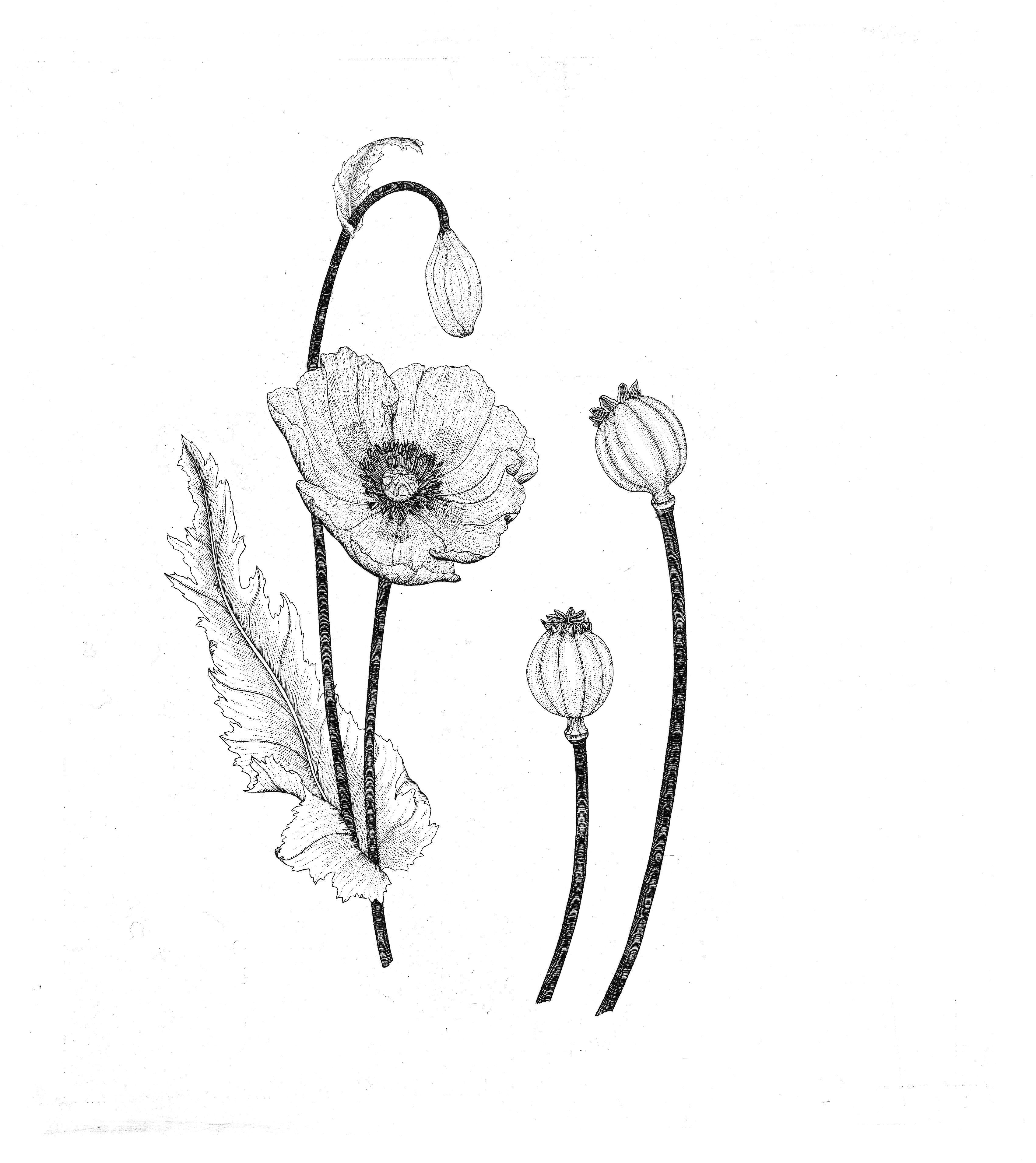 Opium Poppy Drawing Related Keywords Suggestions Opium Poppy