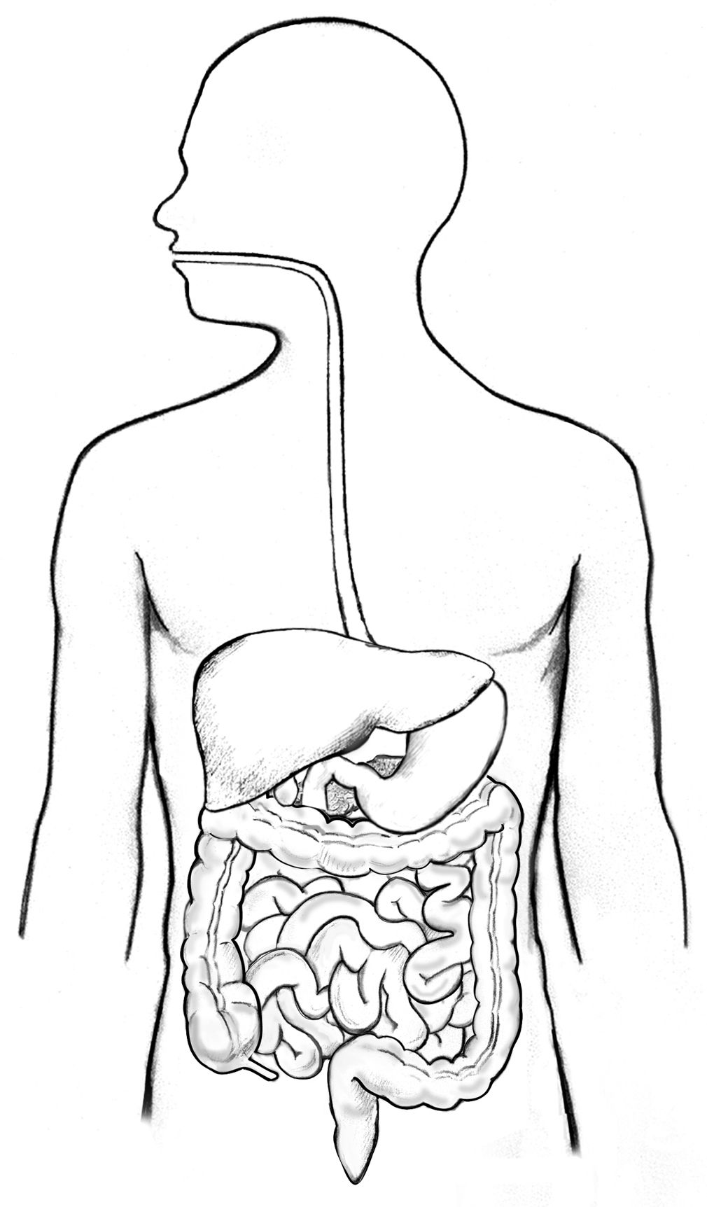 Image result for human digestive system unlabelled diagram
