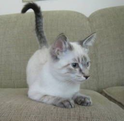 Adopt Georgie On Siamese Cats Blue Point Tabby Cat Orange Tabby Cats