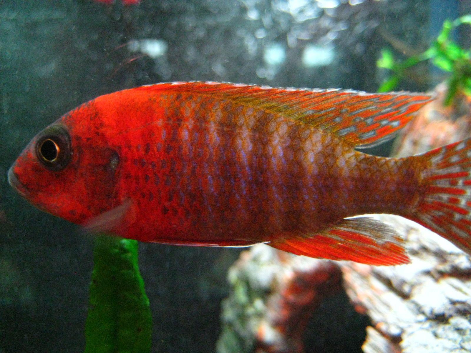 Cichlid | African Cichlids | Pinterest | Tropical fish store, Fish ...