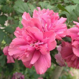 Tesco Direct Hibiscus Syriacus Turkish Delight 1 Bareroot Hibiscus Flowers Turkish Delight