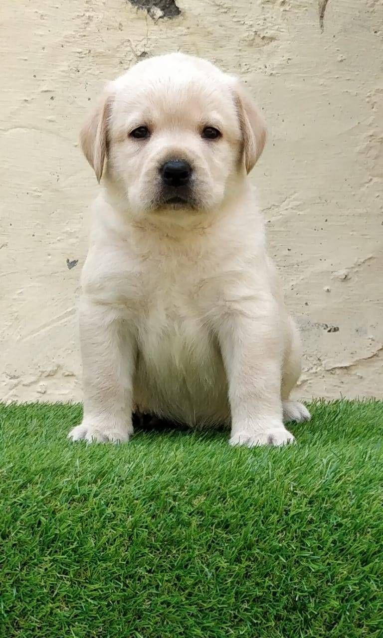 Super Quality Labrador Female Puppy Available 9971818186 In Delhi