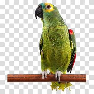 Bird Cockatoo Budgerigar Dog Cat Parrot Transparent Background Png Clipart Parrot Cartoon Budgerigar Parrot Painting