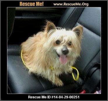 Connecticut Yorkie Rescue Adoptions Rescueme Org Poor Dog Animals Yorkie