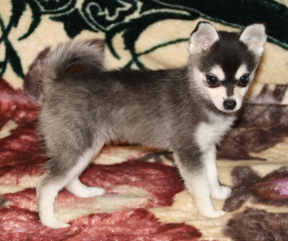 husky puppies for sale in texas heart of texas alaskan klee kai just because pinterest 5563