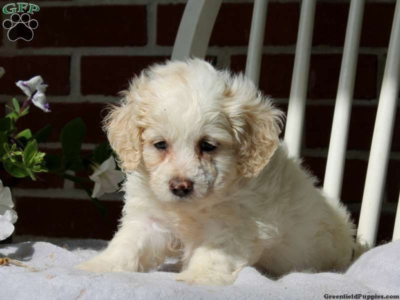 Destiny Cockapoo Puppy For Sale In Quarryville Pa Cockapoo