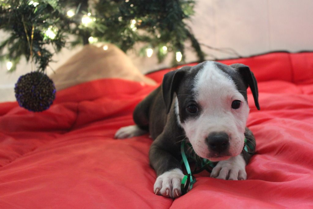 Male pitbull for sale 8083308435 pitbull puppies