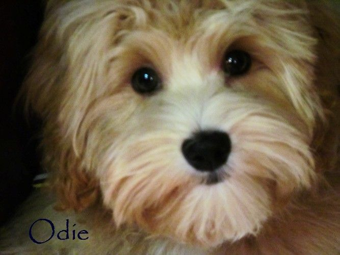 Odie Is Growing Up See More At Www K9puppyplanet Com His Proud Parents Are Lewis And Lilly Pup Cavapoo Puppies