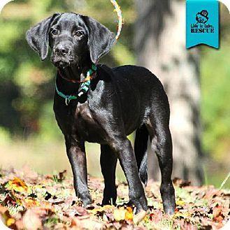 Temple Ga Labrador Retriever Meet Stormie A Puppy For Adoption